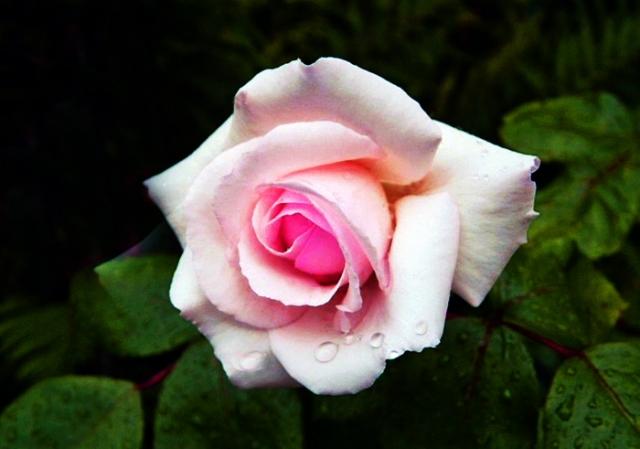 Rose qui pleure de Réjean Morissette
