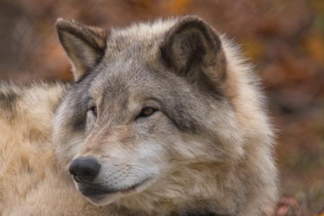 Loup de Michel Durand